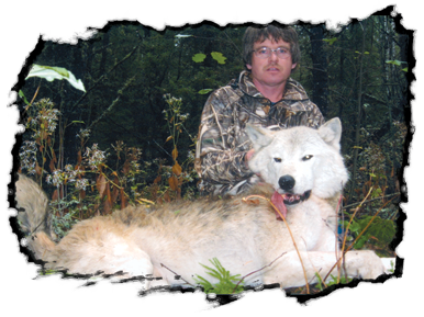 Timber Wolf Hunt at Pine Acres