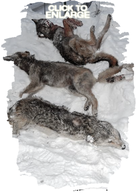 Wolf Hunting in Vermilion Bay Area